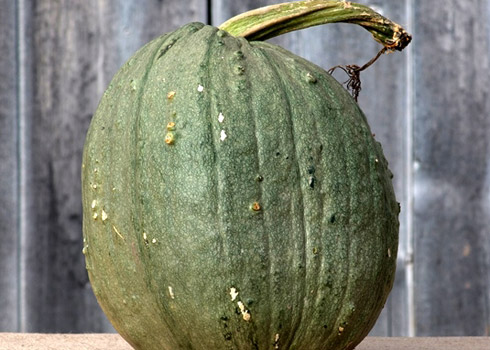 Courge Chihuahuan
