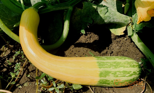 Courgette coutor Zéphir