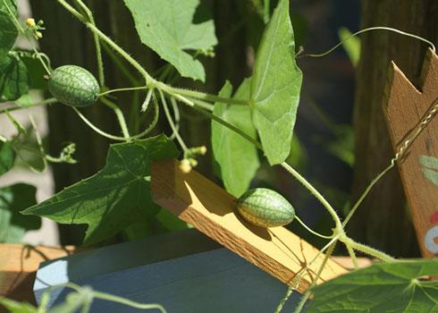 Mélothrie/concombre melon