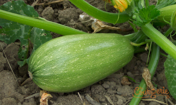 Courgette libanaise Caserta