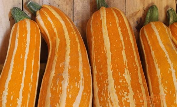 Courgette zucchini Sunstripe