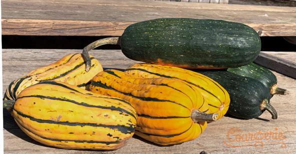 Les courges Délicata et Dostal Cucumberber